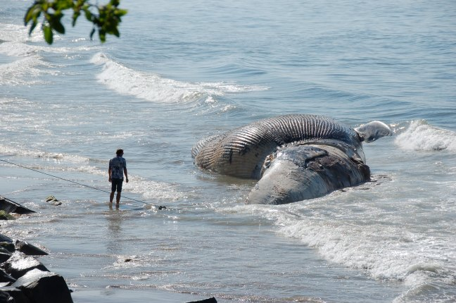 A man stands on a beach in front of a beached whale that has washed up on the shore